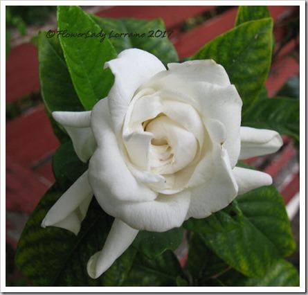 04-15-gardenia