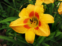 Wet with Rain 'Capriceian Festival' Daylily