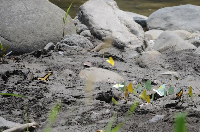 Papilio (Heraclides) astyalus astyalus GODART, 1819 (= Papilio lycophron lycophron HÜBNER, 1823) ; Pieridae : Phoebis philea philea (JOHANSSON, 1764), Aphrissa statira (CRAMER, 1777), et Anteos clorinde GODART, 1823. Environs de Caranavi (alt. : 640 m) (Bolivie), 19 octobre 2012. Photo : C. Basset