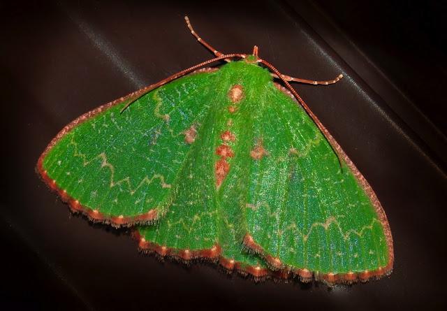 Geometridae : Geometrinae : Anisozyga metaspila WALKER, 1861. Umina Beach (N. S. W., Australie), 24 janvier 2012. Photo : Barbara Kedzierski