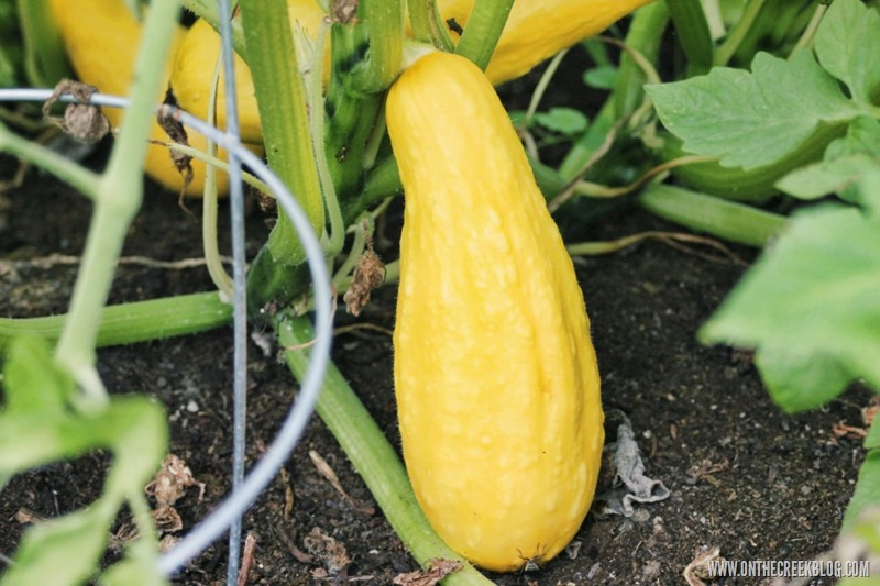 Yellow Squash growing in the garden