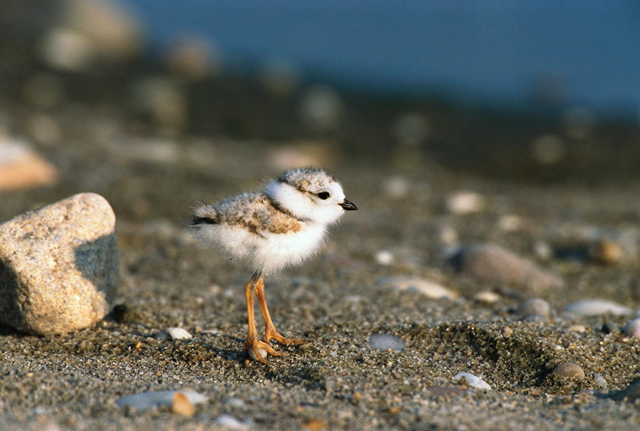 Piping plovers migrate from Long Island, N.Y., to the Bahamas in the fall, and Hurricane Florence could interfere with this long voyage. Photo: Tom Vezo / Minden Pictures / National Geographic Creative