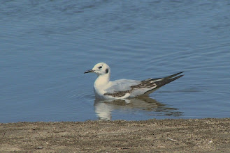 Photo: Bonapart's gull