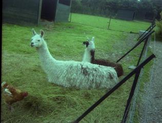 1982.07.15-034.02 lamas