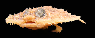 Ugly Fish of the Day: Tortilla Fish