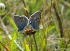 Almindelig blåfugl, han og hun. Rytterbjerget, 2777 2011