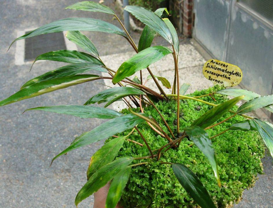 Схизматоглоттис розеоспата (Шизматоглоттис розеоспата) (Schismatoglottis roseospatha)