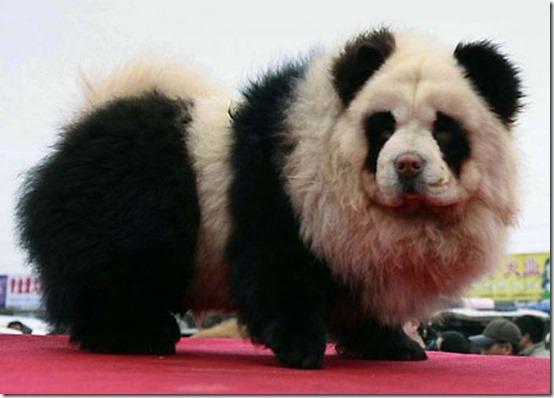 peros como oso pandas y tigres (1)