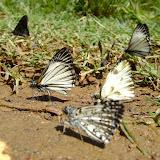 Hesperiidae dont Heliopetes arsalte arsalte (LINNAEUS, 1758) (les deux identiques). Au milieu : Heliopetes omrina (BUTLER, 1870). Au premier plan : Pyrgus orcus (STOLL, 1780). Pitangui (MG, Brésil), 14 mars 2010. Photo : Nicodemos Rosa