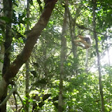 Lémurien : Sifaka à diadème (Propithecus diadema BENNETT, 1832). Parc Andasibe-Mantadia (Périnet, Madagascar), 26 décembre 2013. Photo : J. Marquet
