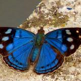 Dynamine racidula racidula (HEWITSON, 1852). Environs de Curitiba (Paraná, Brésil), 27 décembre 2013. Photo : Mauricio Skrock