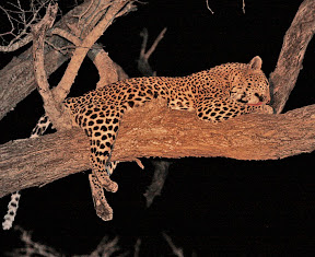 Leopard Female after Dinner, South Africa