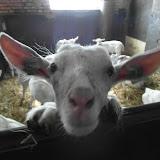 Bevers en Welpen- Lammetjes kijken - SAM_2364.JPG