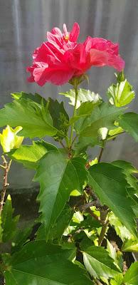 manfaat daun bunga raya bunga kembang sepatu