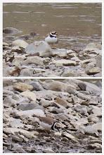 Photo: 撮影者:浜田 早苗 コチドリ タイトル: 観察年月日:2015年3月20日 羽数:4羽 場所:浅川 日野市民プール前 区分: メッシュ:武蔵府中2K コメント:河原で水際を採餌しながら移動したり追いかけあったりしていました