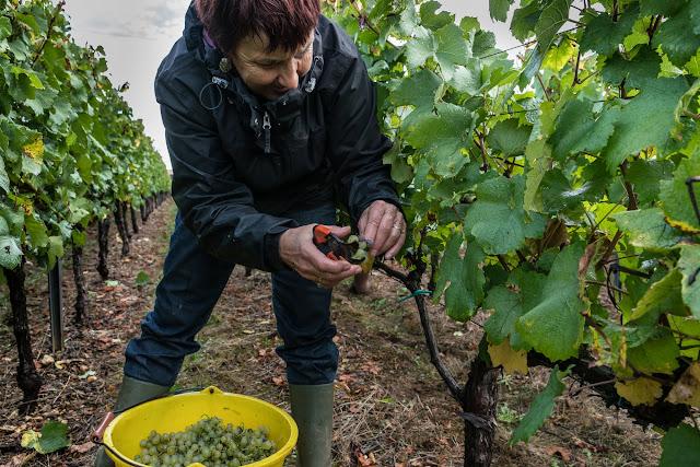 Petites vendanges 2017 du chardonnay gelé. guimbelot.com - 2017-09-30%2Bvendanges%2BGuimbelot%2Bchardonay-118.jpg