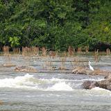 """Héron et """"herbe à coumarou"""" (Mourera fluviatilis, Podostemaceae). Près de Saut Athanase (Guyane). 21 novembre 2011. Photo : J.-M. Gayman"""