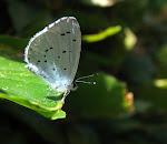 Skovblåfugl4.jpg