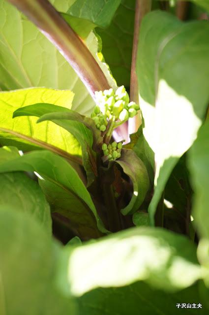 2月4日の紅菜苔