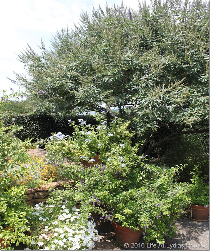 vitex tree in blue and white garden