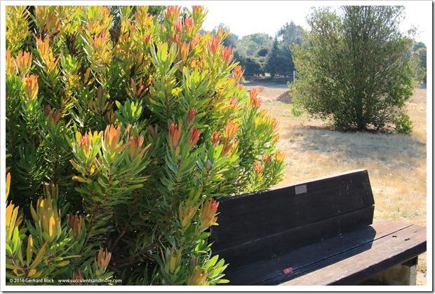 160813_UCSC_Arboretum_Protea-Pink-Ice_001