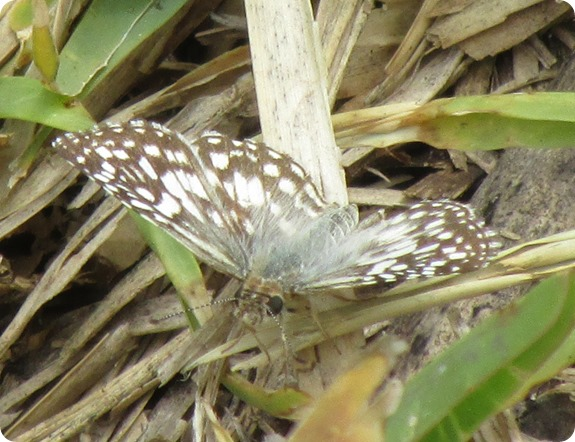 White or Common Checkered Skipper Pyrgus albescens or communis Butterfly