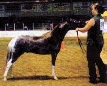 All That Style N Class (Iggy) - 1998 silver tobiano stallion
