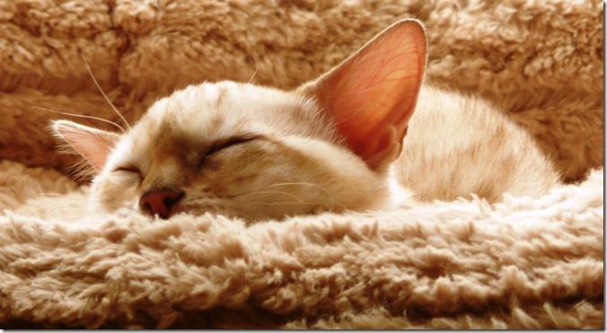 pxhere.com-cat_kitten_bengal_snow_spotted_sleeping_animal_pet_feline-1350973.jpg!d