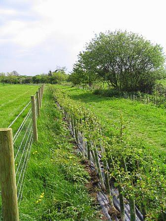 Grassfield Footpath - Hedge Planting - 1239828510233_0_ALB.jpg
