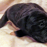 Available black female #4 @ 2 weeks