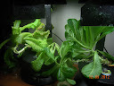 10 week lettuce continued straggly - started new lettuce for kitchen, don't want them all the same age