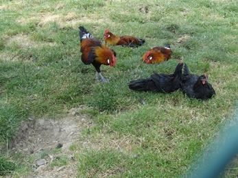 2018.07.01-014 poules La Flèche