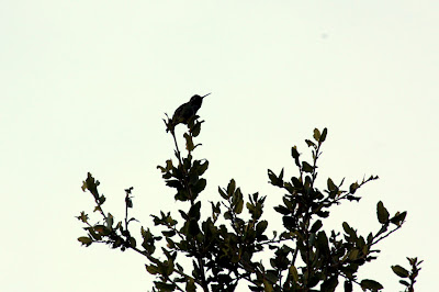 Hummingbird in Portola Valley