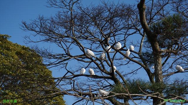 神社里慈祥的和平鸽子