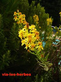 inule viqueuse,Dittrichia viscosa .JPG