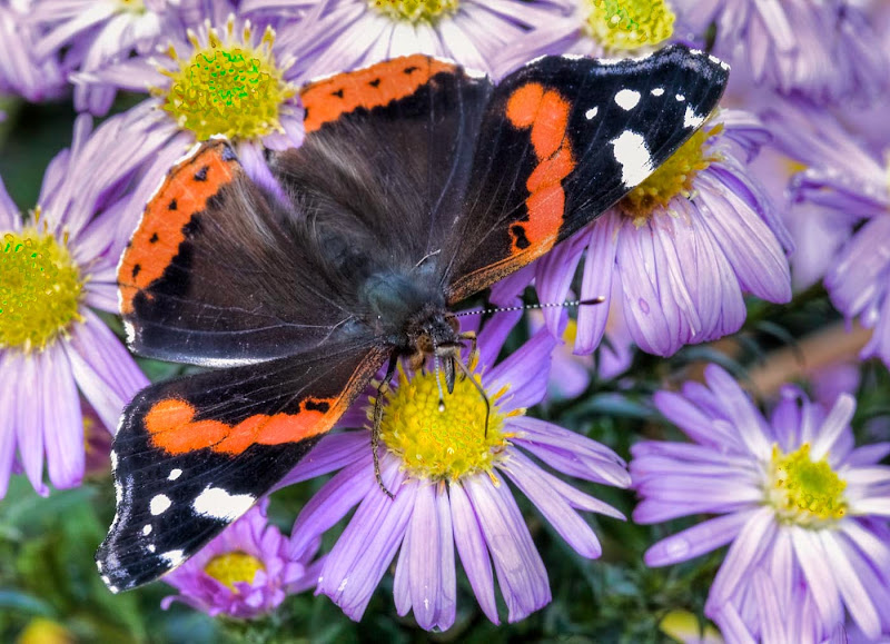 Red Admiral - Brian R