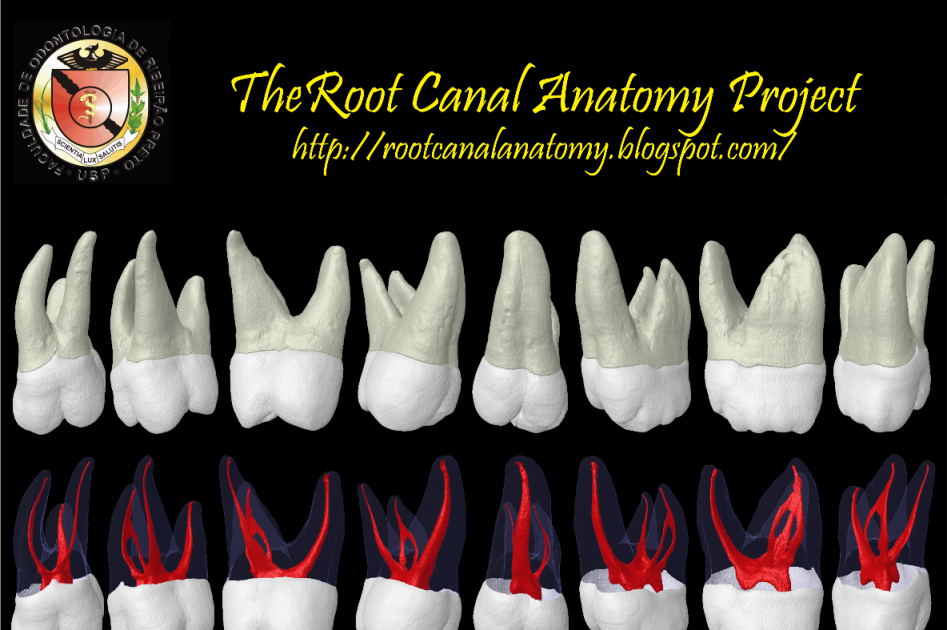 the root canal anatomy project maxillary second molar