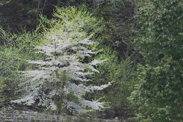 山梨 新緑 桜
