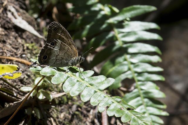 Euptychoides griphe (C. Felder & R. Felder, 1867). La Minga, Choachi, 2330 m (Cundinamarca, Colombie), 11 novembre 2015. Photo : B. Lalanne-Cassou