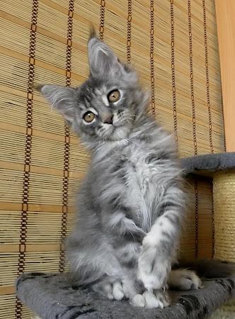 котенок мейн кун питомник Zen Garden Владивосток