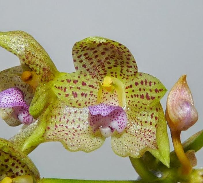Bulbophyllum guttulatum P1420955