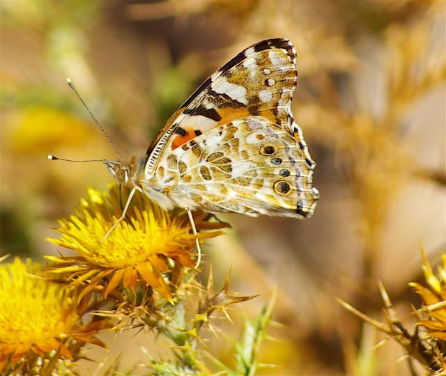 Vanessa (Cynthia) cardui LINNAEUS, 1758. Vetaro (Viggianello, près de Propriano), Corse du Sud, août 2006. Photo : J.-M. Gayman