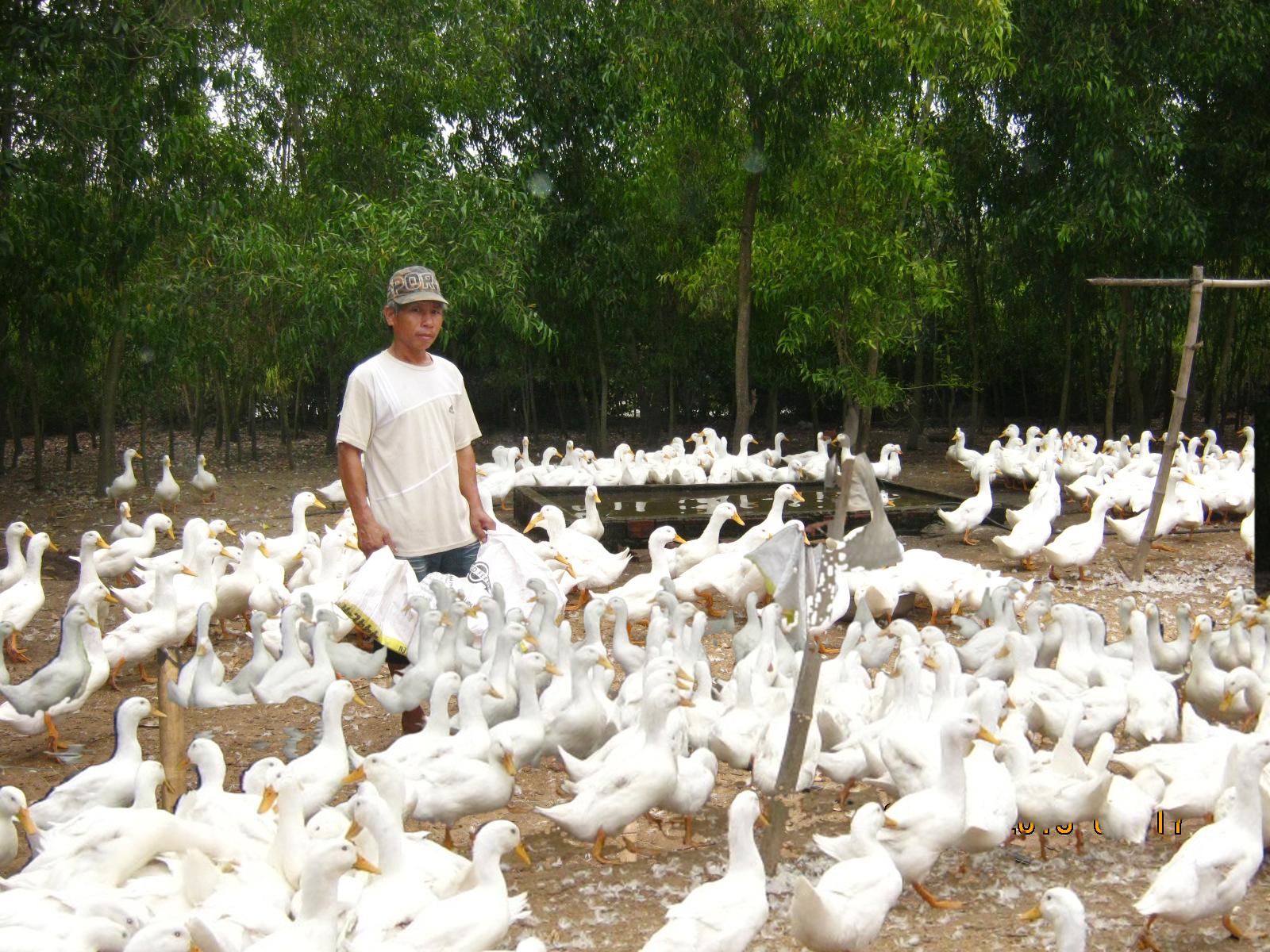 Kỹ thuật chăn nuôi vịt thả vườn khỏe mạnh, năng suất cao - 562ee88a7e65a