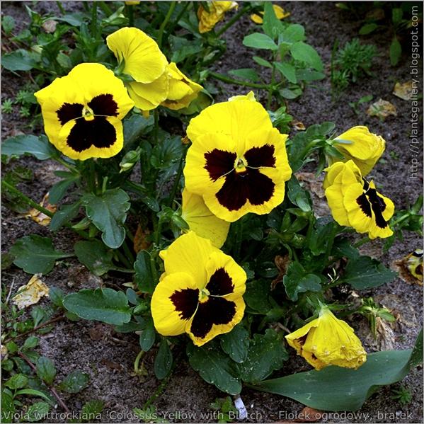 Viola wittrockiana 'Colossus Yellow with Blotch' - Fiołek ogrodowy, bratek pokrój