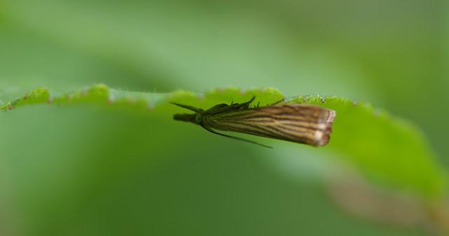 Crambidae : Crambinae : Chrysoteuchia culmella (LINNAEUS, 1758). Hautes-Lisières (Rouvres, 28), 8 juillet 2012. Photo : J.-M. Gayman