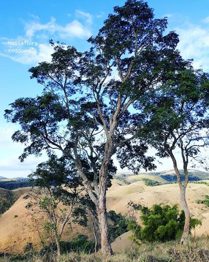 Leucochloron incuriale no alto do morro. Árvore resistente em ambientes degradados como pastagens. Nessa foto aparecem três árvores da espécie Leucochloron incuriale juntas.