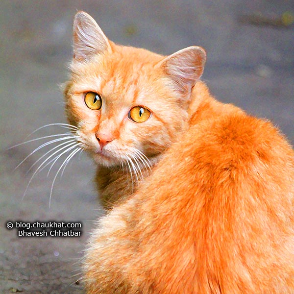 An orange tabby cat looking back at you. It is a living version of Garfield I say.