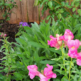 Gardening 2011 - 100_6730.JPG