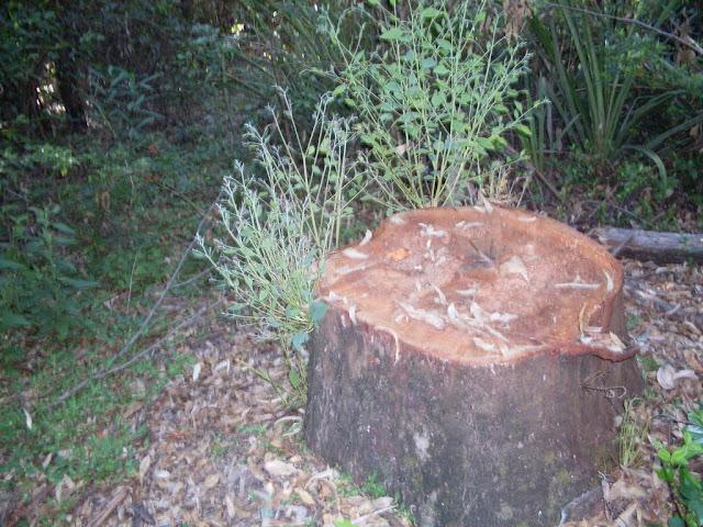 eucaliptus - 007.JPG