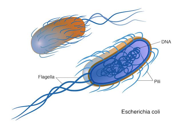 Bakteri berekor dan berambut